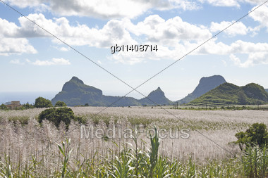 beautiful landscape of sugar cane field on the island of Mauritius. Stock Photo