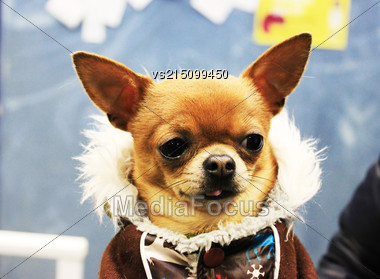 Beautiful Little Dog Dressed In Winter Clothes Stock Photo