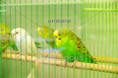 Beautiful Parrots In Cage Stock Photo