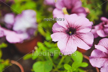 Beautiful Petunia Flowers In The Garden. Photo With Depth Of Field Stock Photo