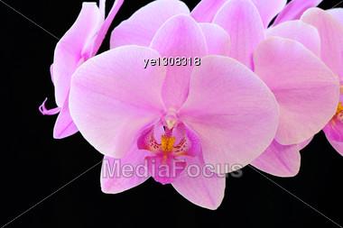 Beautiful Purple Orchid On Black Background Stock Photo