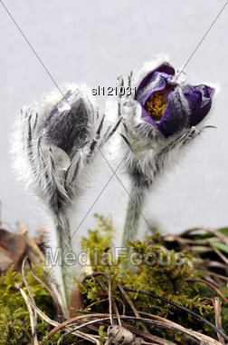 Beautiful Of Purple Pasque Flowers On A Gray Background. Spring Flower. April At Lithuania. Stock Photo