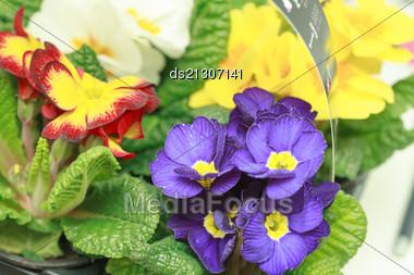 Beautiful Purple Violet Flowers Close-up Stock Photo