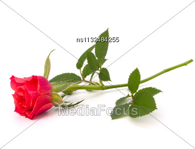 Beautiful Rose Isolated On White Background Stock Photo