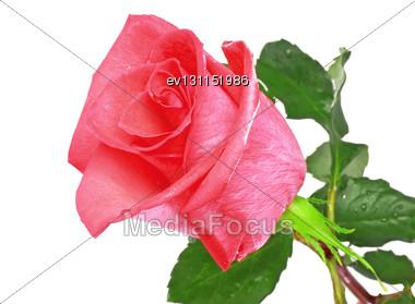 Beautiful Single Pink Roses Isolated On White Background Stock Photo