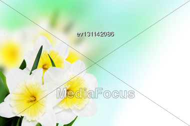 Beautiful Spring Flowers Background -narcissus (Daffodil Stock Photo