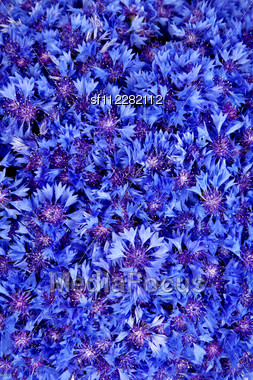 Beautiful Spring Flowers Blue Cornflower On Background. Blue Flowers Pattern Stock Photo