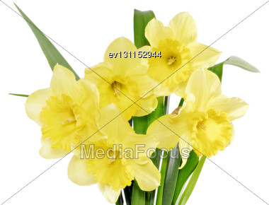 Beautiful Spring Flowers In Vase: Yellow Narcissus (Daffodil). Isolated Over White Stock Photo