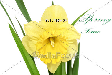 Beautiful Spring Single Flower: Orange Narcissus (Daffodil). Isolated Over White Stock Photo