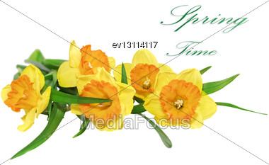 Beautiful Spring Three Flowers : Yellow Narcissus (Daffodil). Isolated Over White Stock Photo