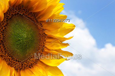 Beautiful Sunflower Against A Blue Sky Stock Photo