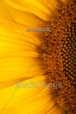 Beautiful Sunflower Against A Blue Sky Stock Photo