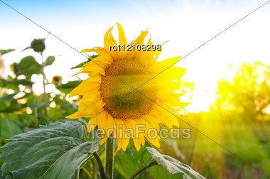Beautiful Sunflowers At Field With Blue Sky And Sunburst Stock Photo