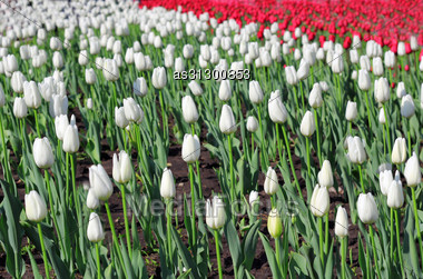 Beautiful Tulips Field In Spring Time Stock Photo