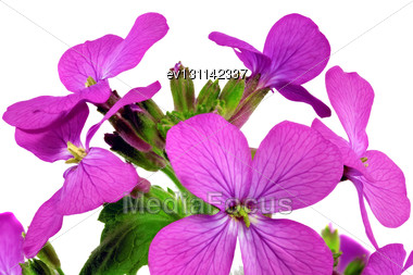Beautiful Violet Flower.Closeup On White Background. Isolated Stock Photo