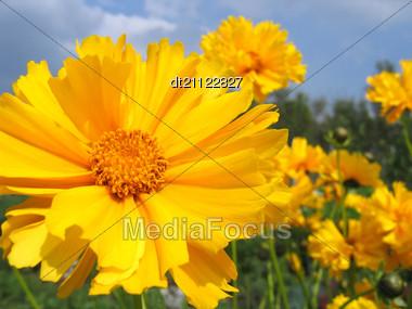 Beautiful Yellow Flowers Coreopsis Grandiflora In Summer Garden Stock Photo