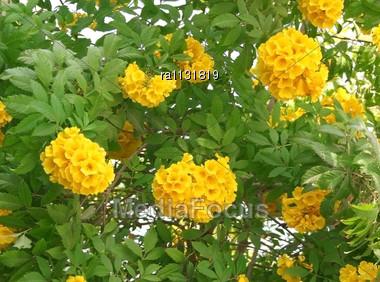 Stock photo beautiful yellow flowers on the tree image ra1131819 beautiful yellow flowers on the tree stock photo mightylinksfo Gallery