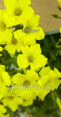 Beautiful Yellow Flowers,vertical Picture. Stock Photo