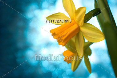 Beautiful Yellow Narcissus Or Daffodil Flowers Background Stock Photo