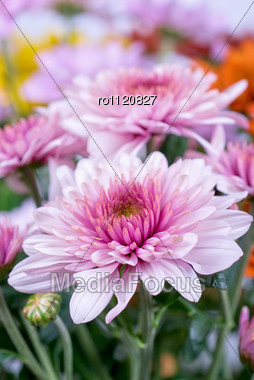 Beauty Color Chrysanthemum Flowers Close Up Stock Photo