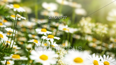 Beauty Daisy Flowers On The Meadow, Natural Backgrounds Stock Photo