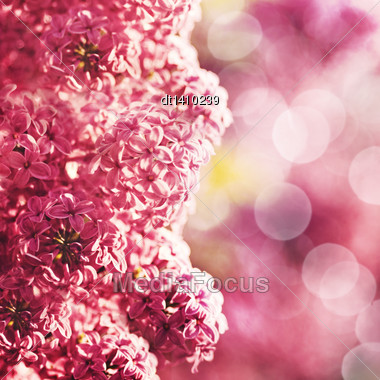 Beauty Lilac Flowers With Abstract Bokeh As Floral Backgrounds Stock Photo
