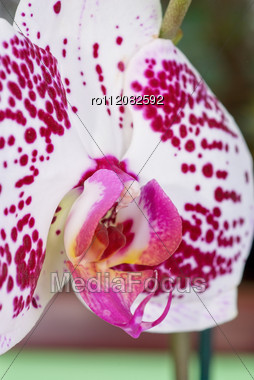 Beauty Orchid Closeup Stock Photo