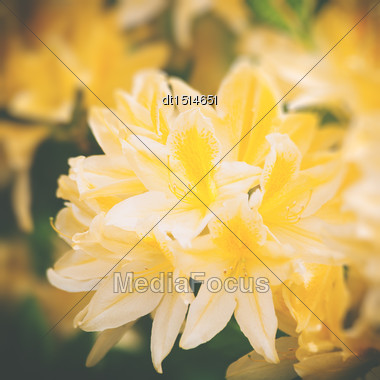 Beauty Rhododendron Flowers, Abstract Floral Backgrounds Stock Photo