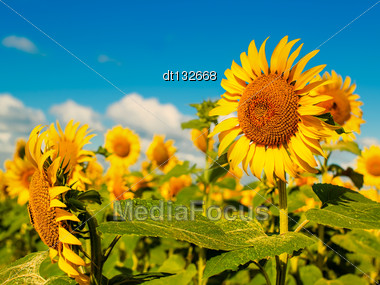 Beauty Sunflowers On The Field, Natural Landscape Stock Photo