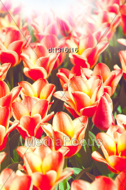 Beauty Tulips, Abstract Environmental Backgrounds For Your Design Stock Photo