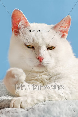 Beauty White Persian Cat Relax On Blanket Stock Photo