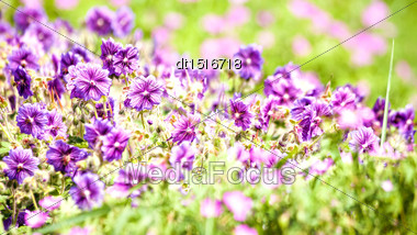 Beauty Wild Flowers On The Meadow, Panoramic Natural Backgrounds Stock Photo