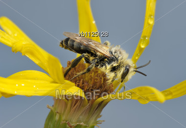 Bee On Yellow Flower Against Of The Cloudy Sky Stock Photo