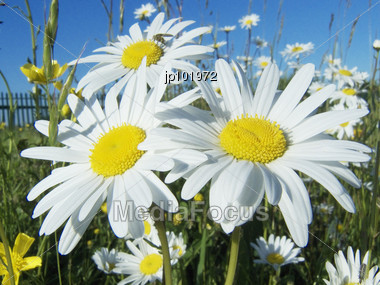 Big Daisies Stock Photo