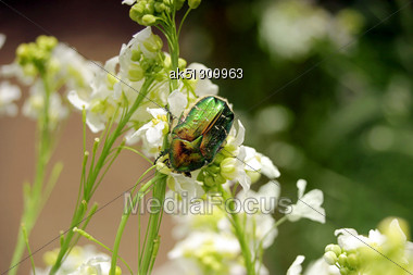 Big Green Beetle Sit Ot The Flowers Stock Photo