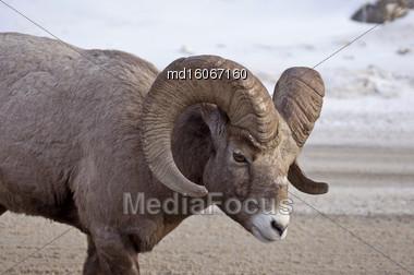 Big Horn Sheep Rocky Mountain Canada Winter Stock Photo