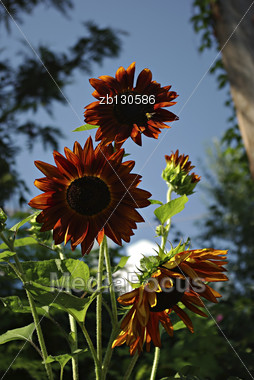 Big Red Sunflowers Against Clear Blue Sky At Sunny Summer Day Stock Photo