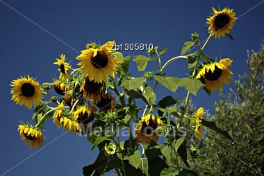 Big Yellow Sunflowers Against Clear Blue Sky At Sunny Summer Day Stock Photo