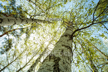 Birch Forest, Abstract Natural Backgrounds Stock Photo