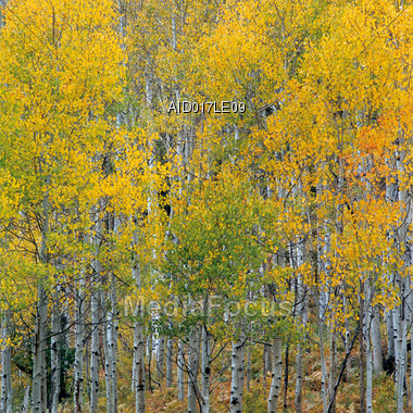 Birch Forest In Autumn Stock Photo