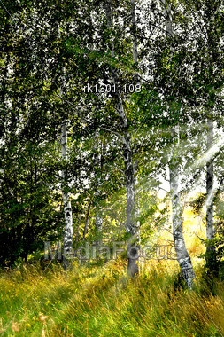 Birch Grove, Illuminated By The Sun On The Background Of A Wheat Field Stock Photo