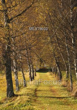 Birch Trees & Path Stock Photo