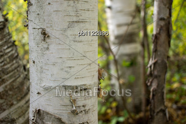 """Birrch Tree """"Up North"""" In The Bounday Waters Canoe Area. Stock Photo"""