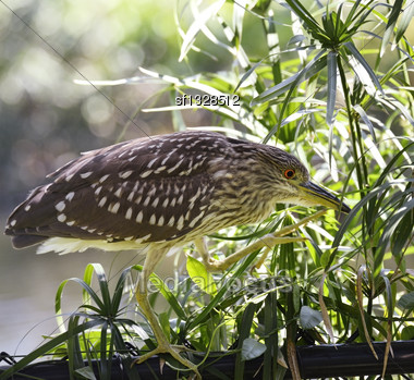 Black-Crowned Night-Heron Walking On The Fence Stock Photo