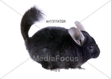 Black Ebonite Chinchilla On White Background. Isolataed Stock Photo