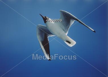 Black-Headed Seagull In Flight Stock Photo