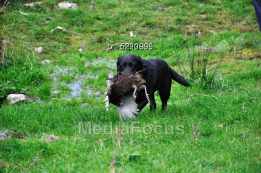 Black Labrador Gamedog Retrieving Female Pheasant, West Coast, South Island, New Zealand Stock Photo