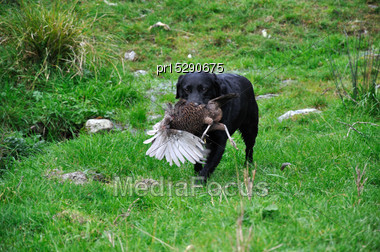 Black Labrador Gamedog Retrives A Pheasant On The West Coast Of New Zealand Stock Photo