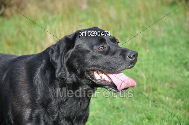 Black Labrador Gamedog Waits For His Master To Drop A Bird Stock Photo