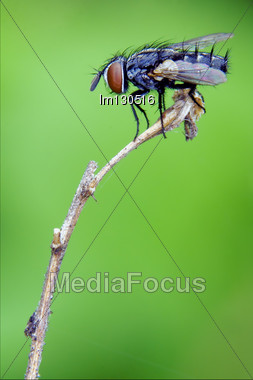 Black Little Fly In A Branch Stock Photo